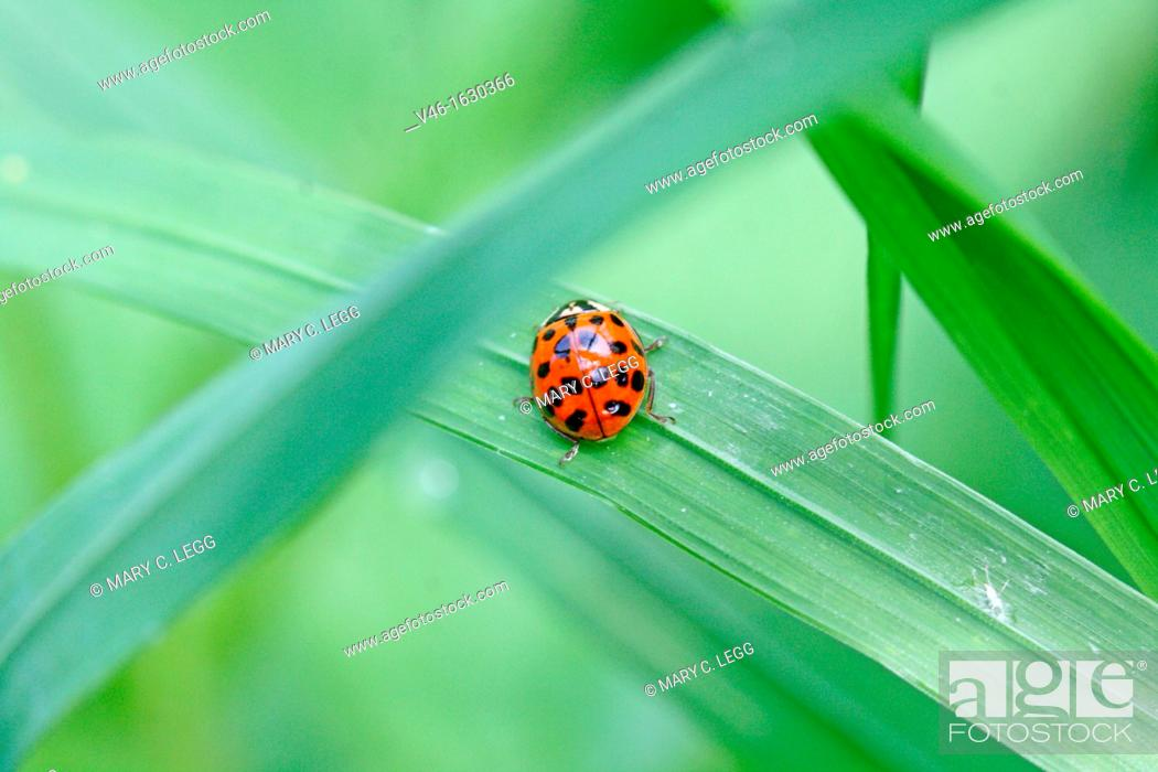 Stock Photo: Asian ladybird, Harmonia axyridis  Fourteen spot pattern on back of the red ladybird  Hidden in grass.