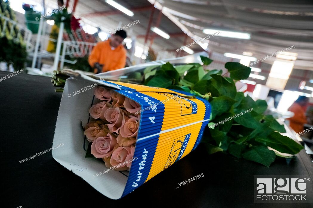 Stock Photo: A wraped box of roses on the flow line in the packaging hall of a flower farm in Cayambe, Ecuador, 23 June 2010. South American countries (Colombia and Ecuador).