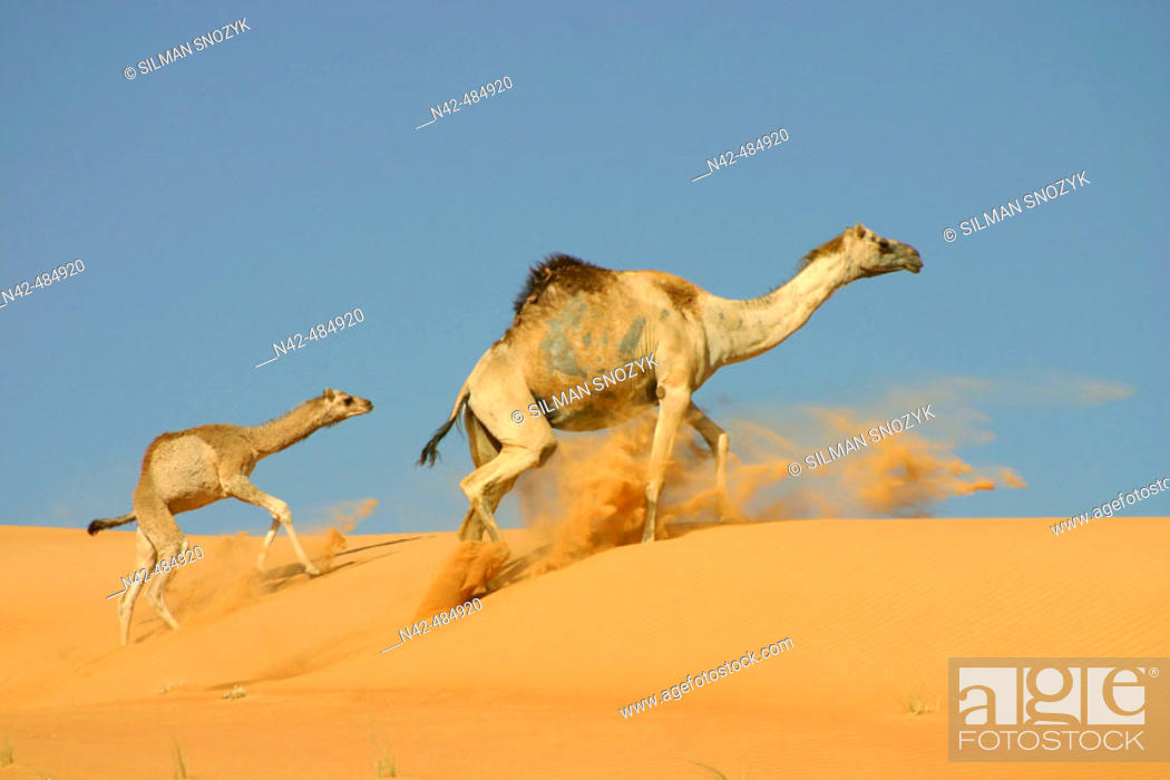 Stock Photo: Mother and infant camel racing the dunes, Al Yahar, Abu Dhabi, United Arab Emirates.