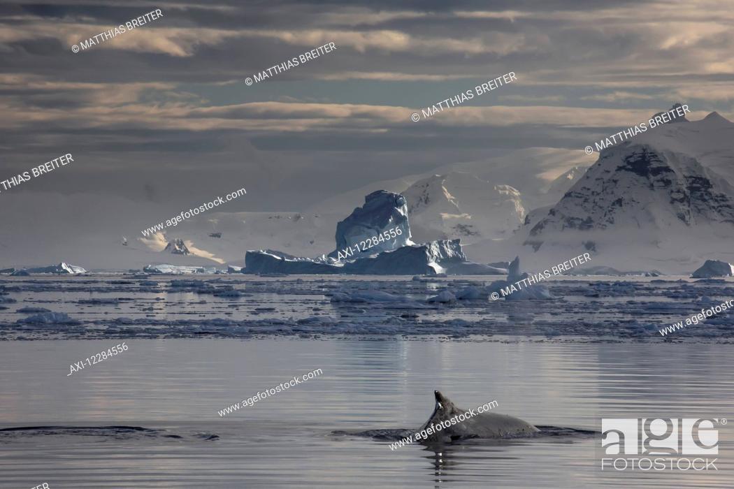 Imagen: Humpback whale (Megaptera novaengliae) in Gerlache Strait, Antarctic Peninsula; Antarctica.
