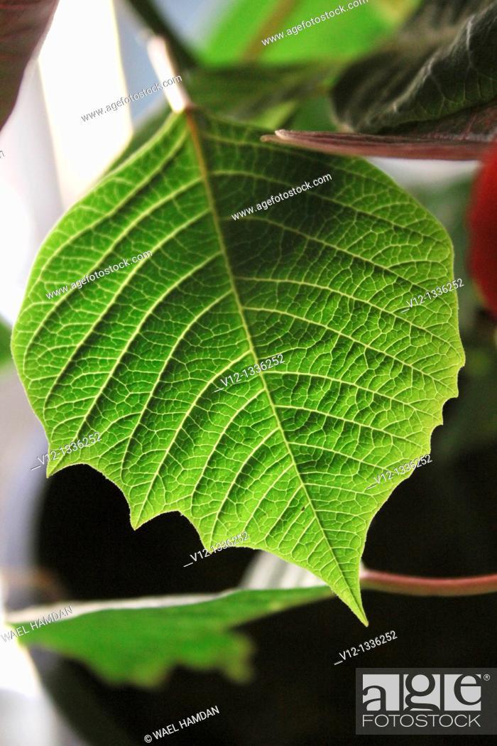 Stock Photo: Poinsettias (Euphorbia pulcherrima) during the Christmas season.