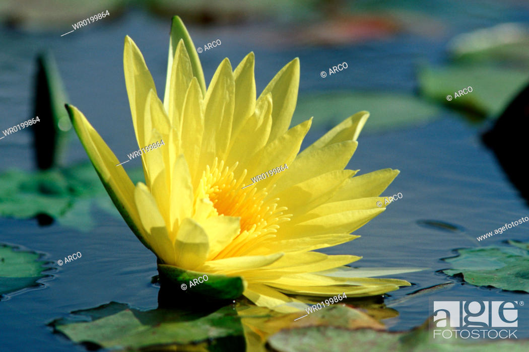 Stock Photo: Water-lily,Nymphaea, spec.