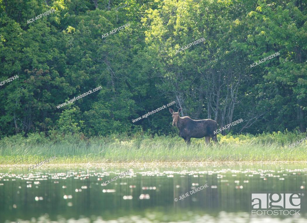 Stock Photo: Cow Moose, Alces alces, Ontario, Canada.