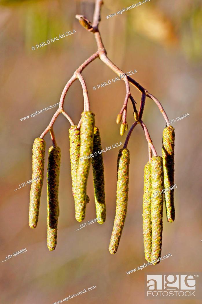 Stock Photo: Alnus glutinosa.