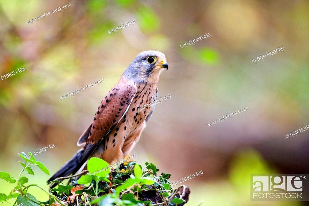 England Wiltshire Lacock A Kestrel Stock Photo Picture And