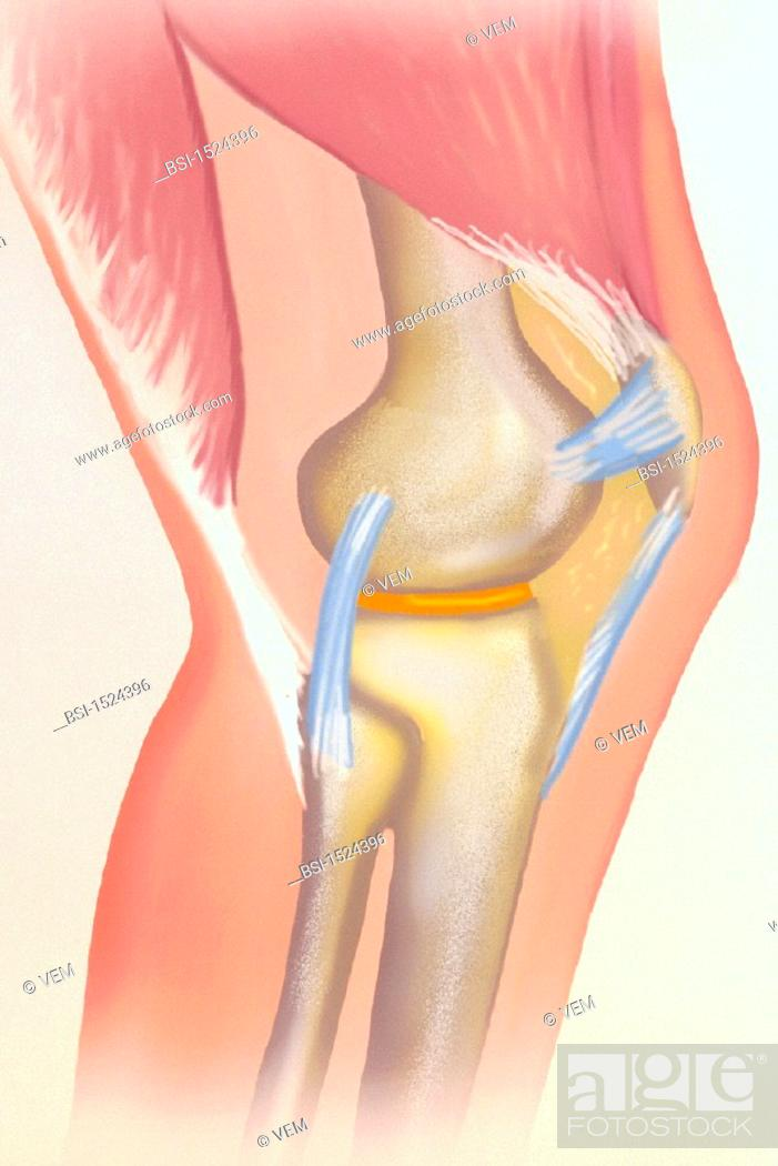 KNEE, DRAWING<BR>The knee joint is the articulation between the ...