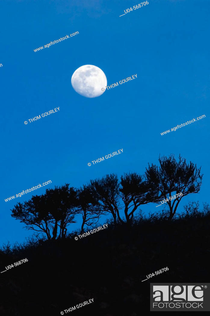 Stock Photo: Moonrise over scrub oak trees, Wasatch Mountain foothills, SLC. Utah. USA.