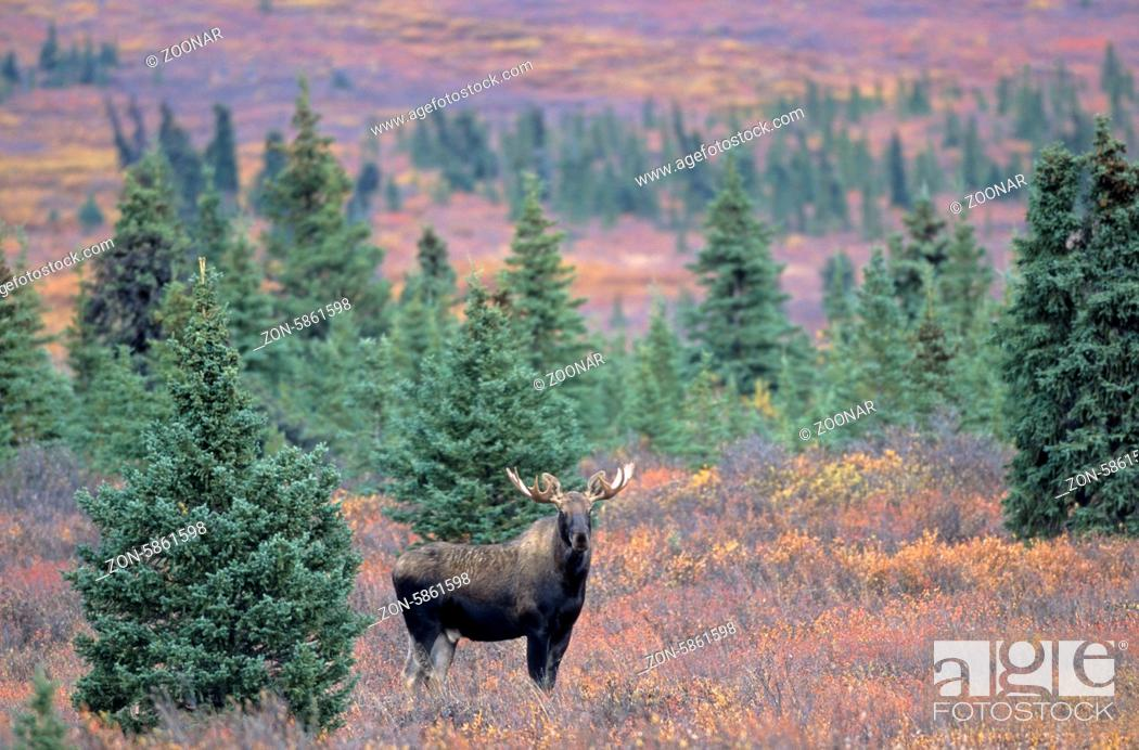 Stock Photo: Junger Elchbulle in der herbstlichen Tundra - (Alaskaelch) / Young bull Moose in indian summer in the tundra - (Alaska Moose) / Alces alces - Alces alces.