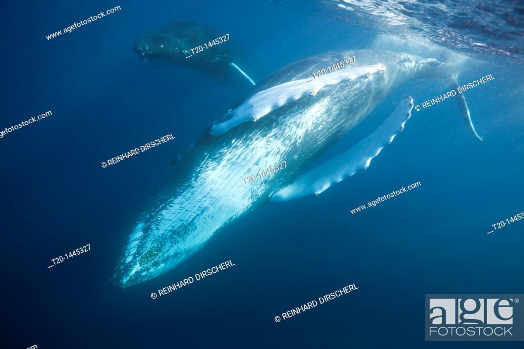 Stock Photo: Humpback Whale, Megaptera novaeangliae, Silver Bank, Atlantic Ocean, Dominican Republic.