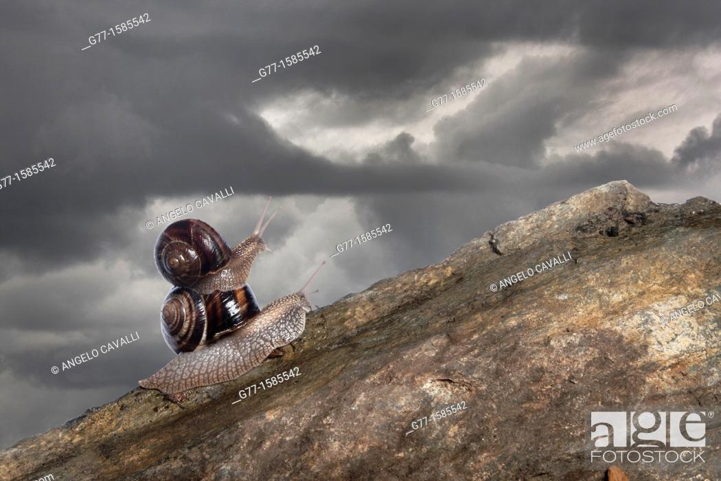 Stock Photo: two snails.