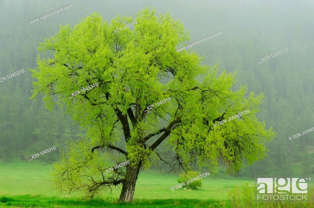 Stock Photo: Spring foliage on large aspen tree in pasture.