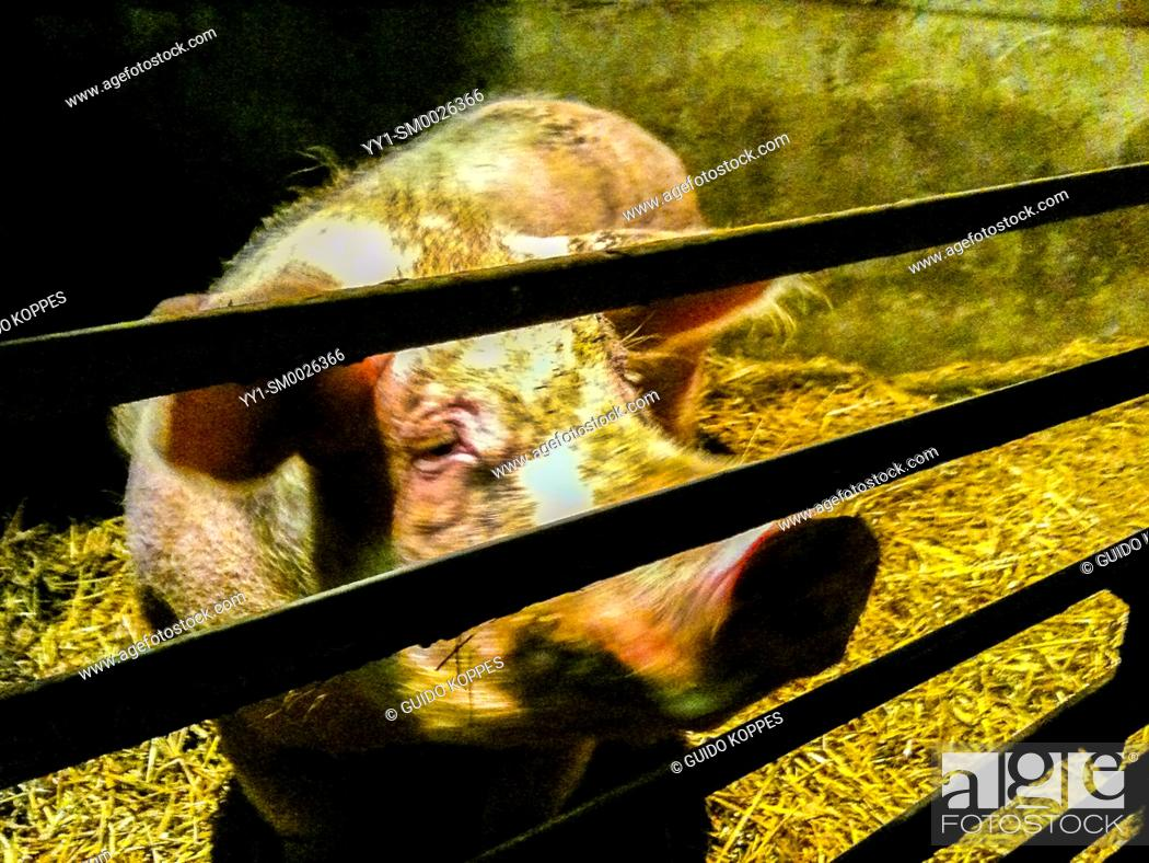 Imagen: Tilburg, Netherlands. A pregnant, female pig just ment for breeding fresh meat spends her time in a small, enclosed space inside a pig farm.