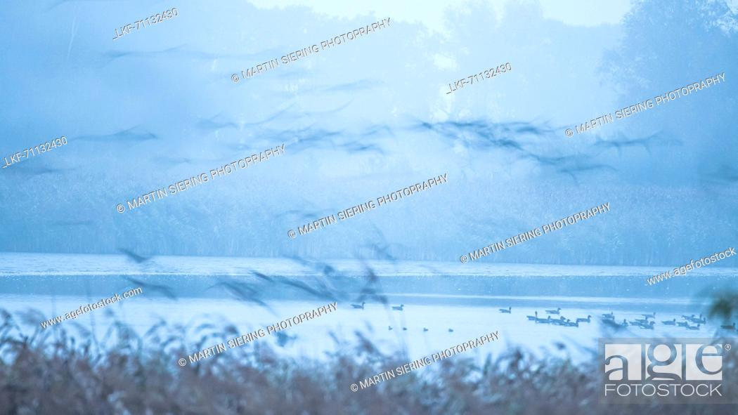 Stock Photo: Wild Geese, Gray Geese on a lake in the morning, Blue Hour, Abstract, Sleeping Place, Autumn, Fehrbellin, Linum, Brandenburg, Germany.