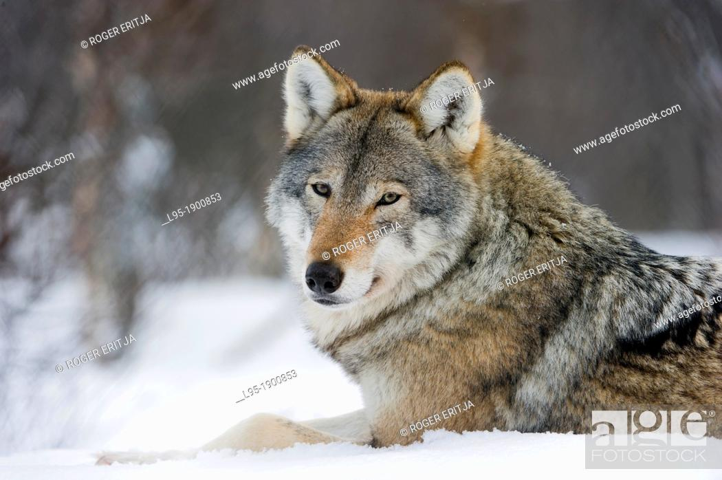 Stock Photo: Eurasian Wolves Canis lupus lupus in winter fur, under snowfall in controlled conditions, Norway.