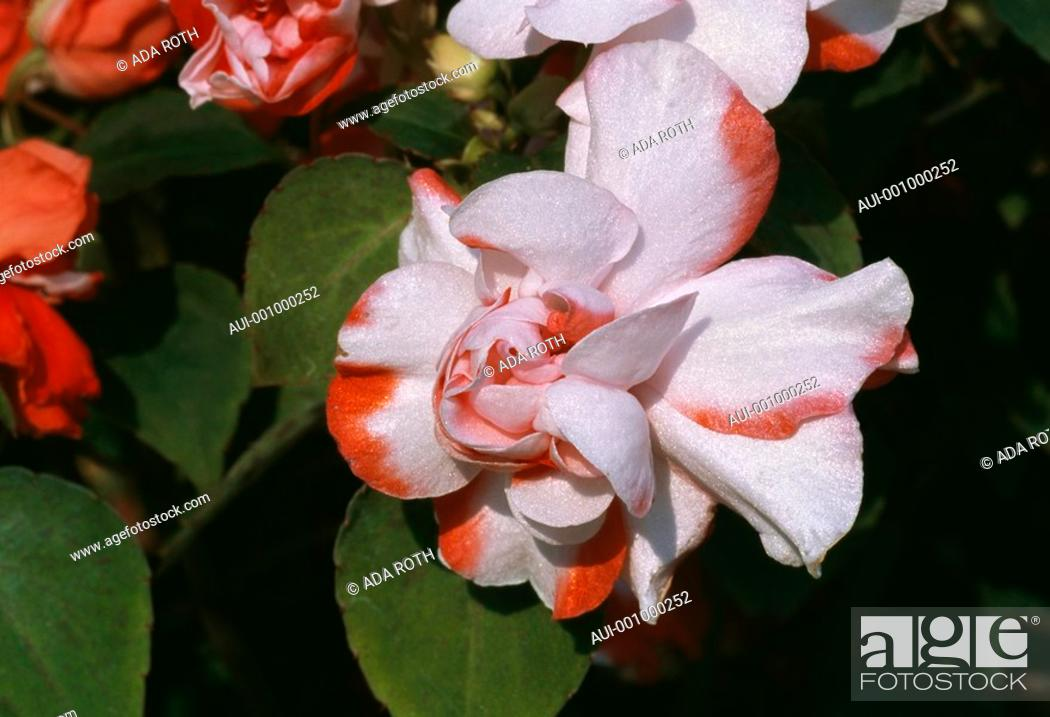 Stock Photo: Begonia - iridescent white and red petals - feminine ruffles.
