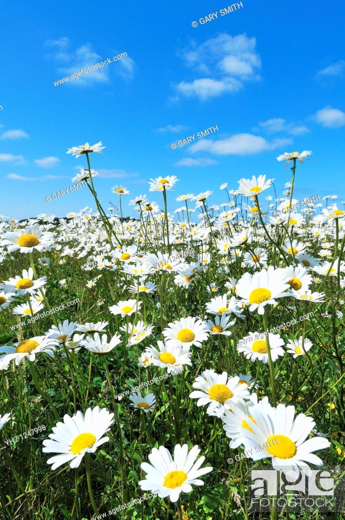Stock Photo: Ox-eye daisy, chrysanthemum parthenium, Norfolk, UK, June.