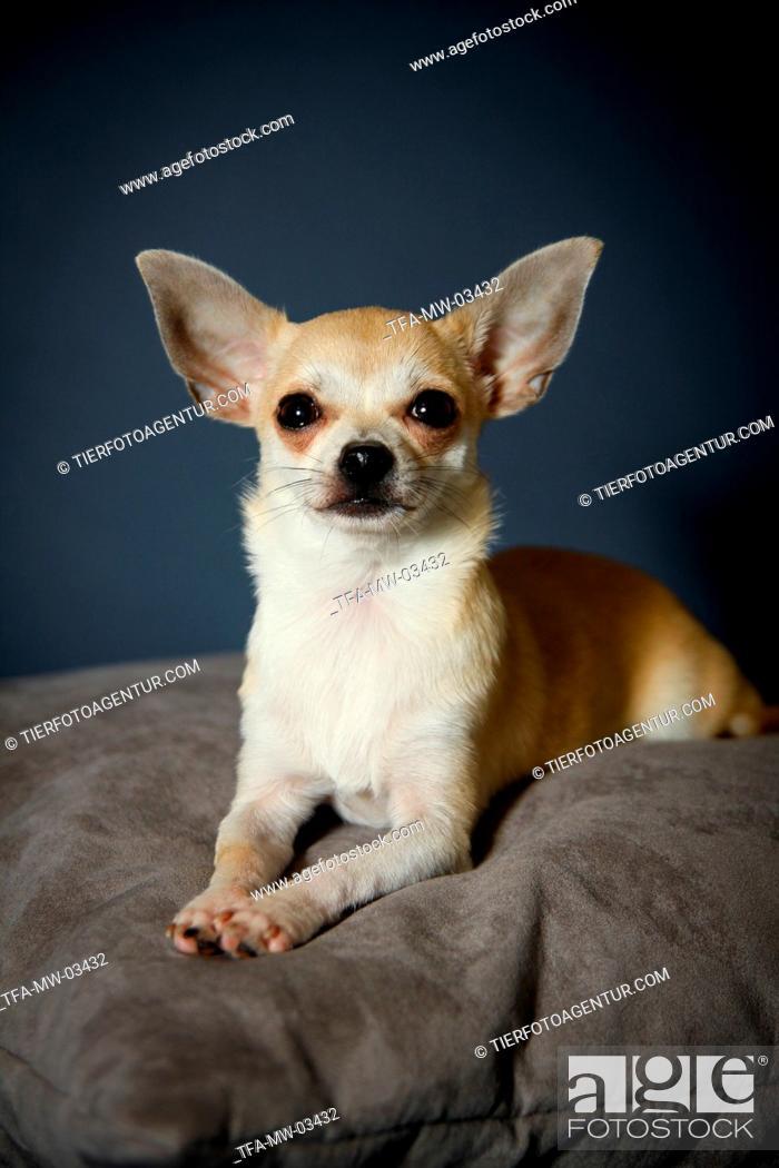 Stock Photo: lying Chihuahua.