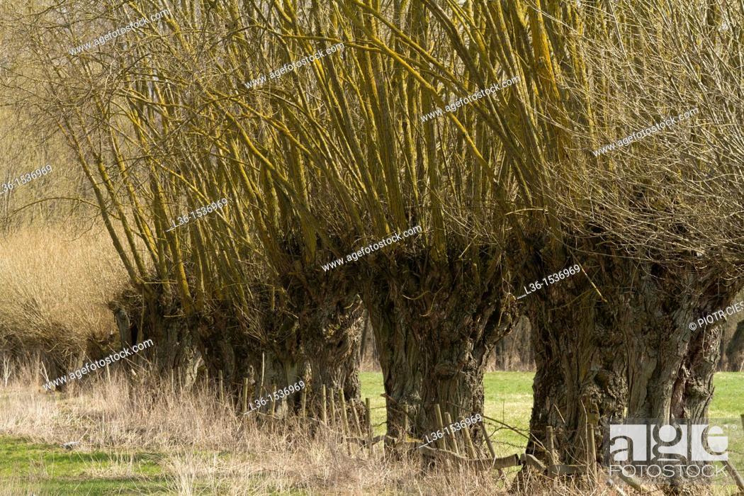 Stock Photo: Poland. Mazowsze region. Willow trees. Willows are very popular trees in the Mazowsze region.