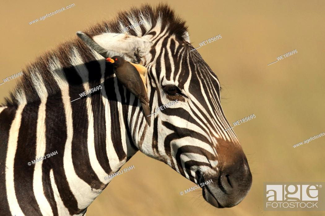 Stock Photo: Yellow-billed Oxpecker sitting on Zebra's head, Masai Mara National Reserve, Kenya.