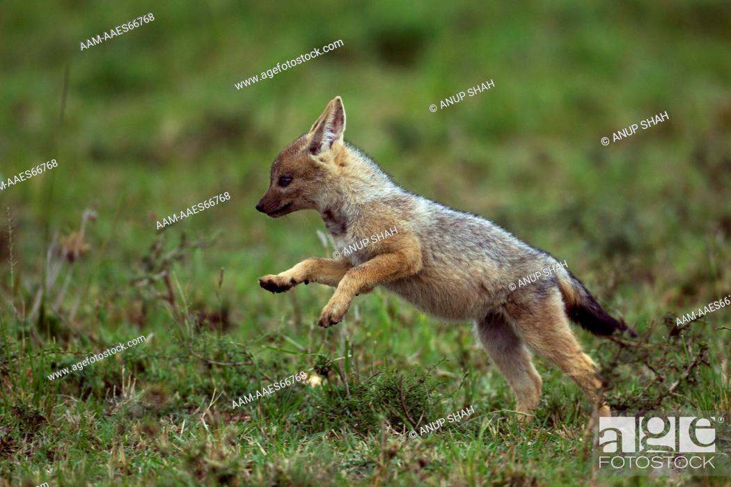 Stock Photo: Black-backed jackal five week old pup running (Canis mesomelas). Maasai Mara National Reserve, Kenya. Aug 2011.