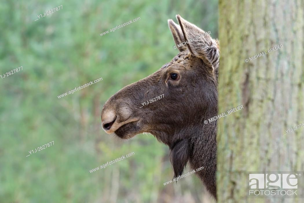 Stock Photo: Moose behind tree, Alces alces, Europe.