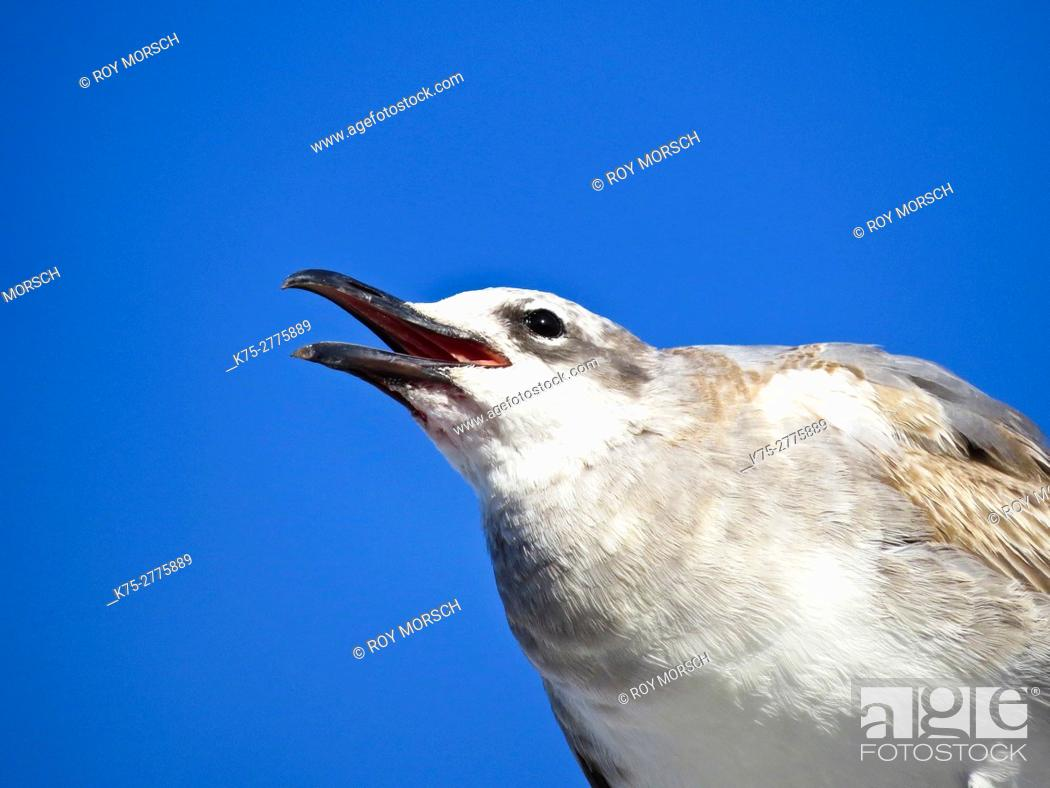 Stock Photo: immature laughing gull.