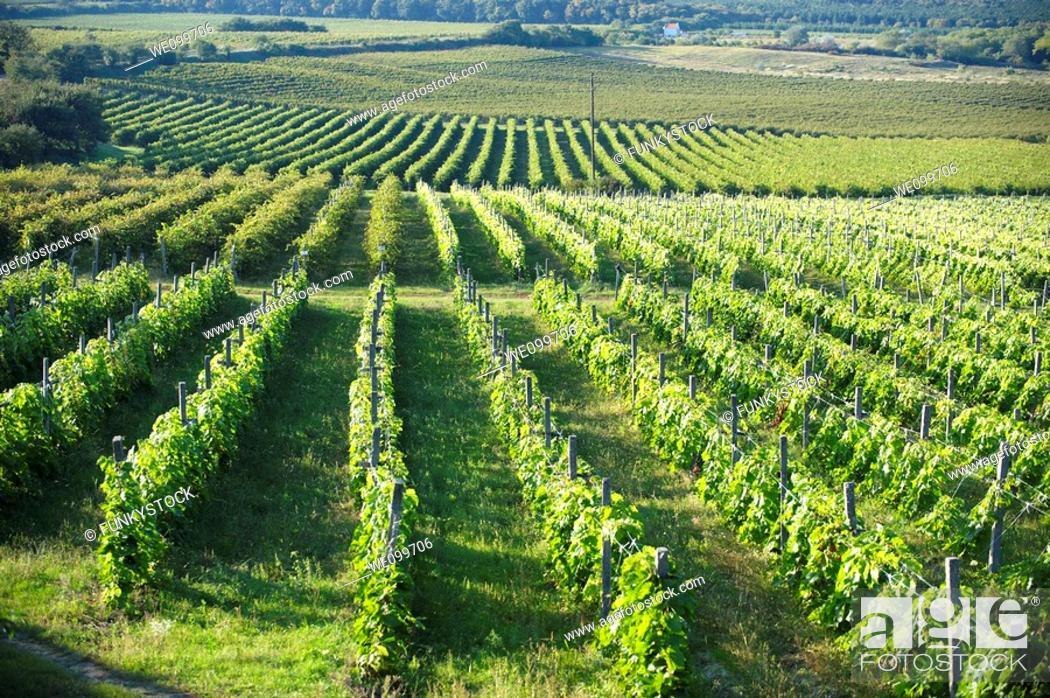 Stock Photo: Vineyards of Sopron, Hungary.
