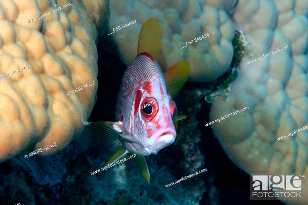 Stock Photo: Sabre squirrelfish, Sargocentron spiniferum,  Ailuk atoll, Marshall Islands, Pacific.