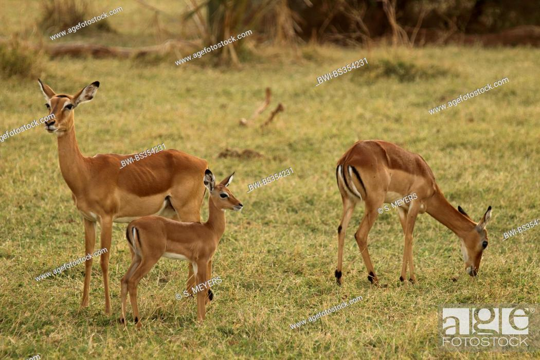 Imagen: impala (Aepyceros melampus), two antelopes with young animal in a meadow, Kenya, Samburu National Reserve.