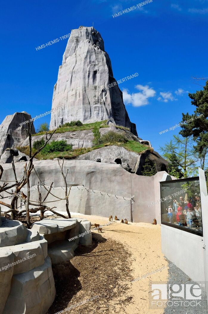 Stock Photo: France, Paris, Paris Zoological Park (Zoo de Vincennes), the Sahel-Sudan biozone, Guinea baboons (Papio papio) in a large enclosure under the Grand Rock that is.