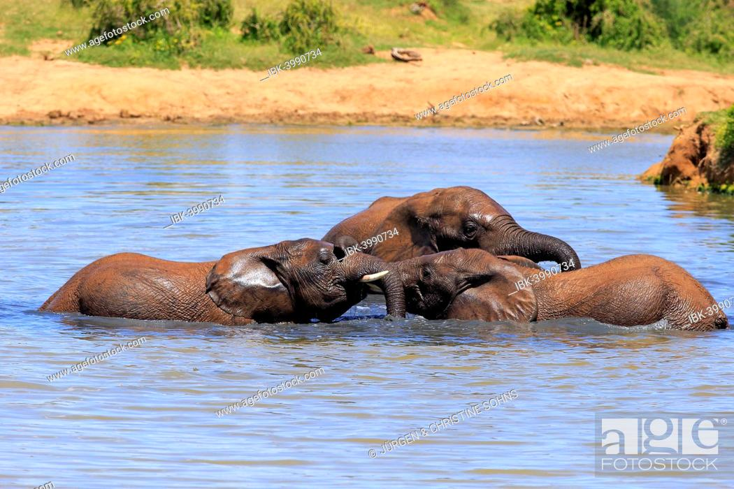Stock Photo: African elephant (Loxodonta africana) elephants bathing in the water, social behavior, Addo Elephant National Park, Eastern Cape, South Africa.