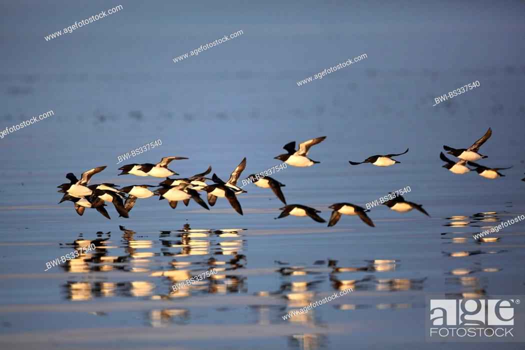 Stock Photo: Bruennich's guillemot (Uria lomvia), flock in flight, Canada, Nunavut, Bylot Island.