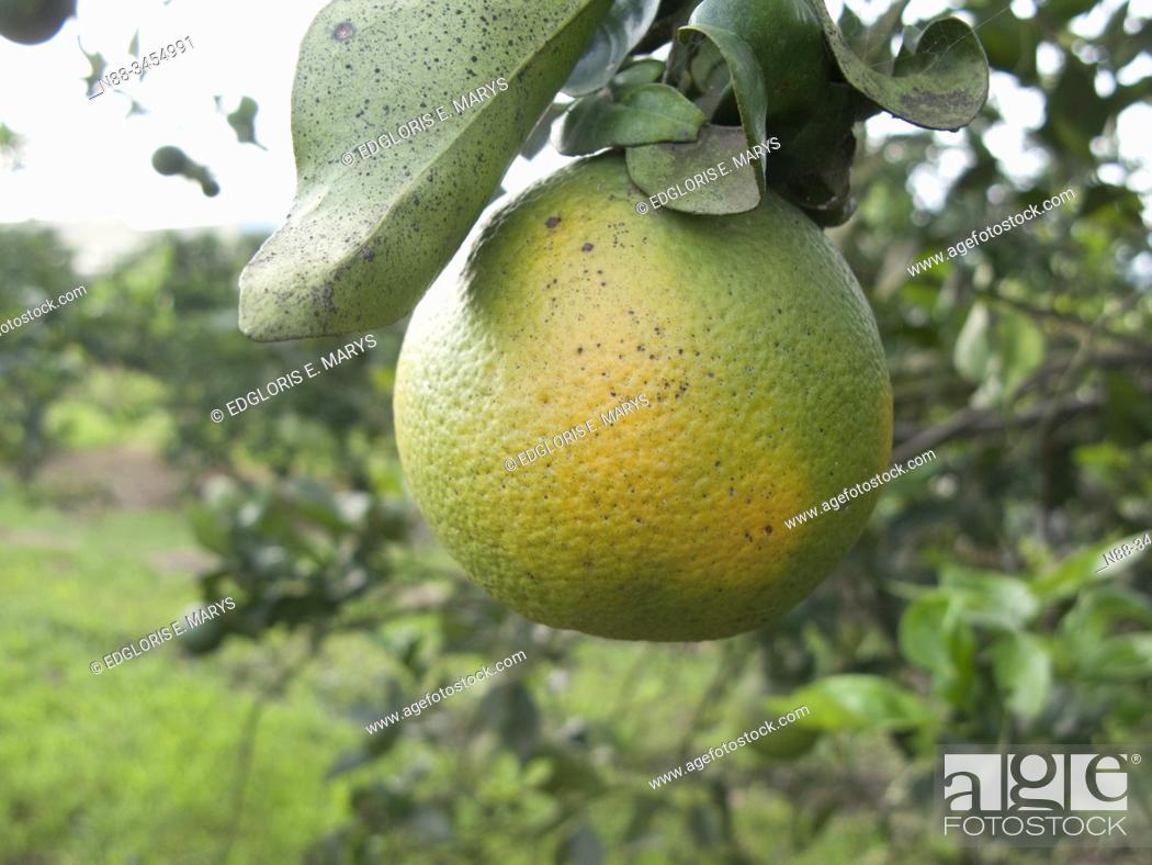 Stock Photo: Orange citrus fruit heavily infected with huanglongbing yellow dragon citrus greening plague deadly disease Venezuela.