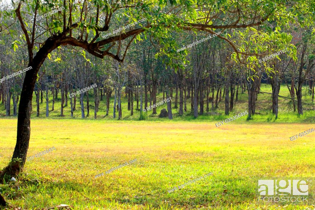Stock Photo: Rubber trees at Thailand.