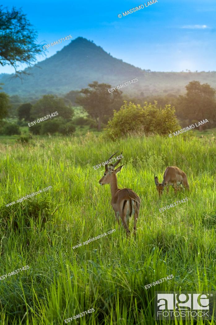 Imagen: Antelope earing the danger, Serengeti game park, Tanzania.
