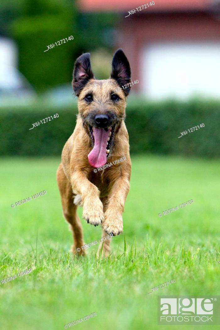 Stock Photo: Westfalen Terrier, running, Lower Saxony, Germany.