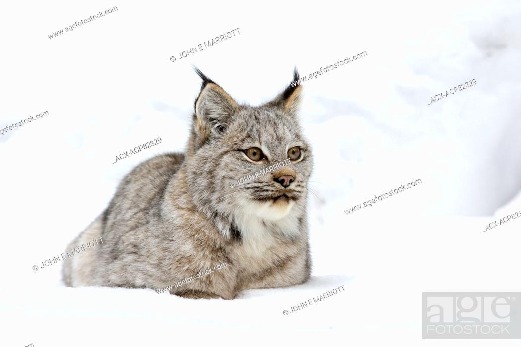 Stock Photo: Wild lynx in Banff National Park.