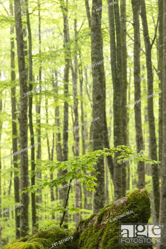 Stock Photo: Beech wood (Fagus sylvatica). Parque Natural Sierra de Urbasa. Navarra. Spain.