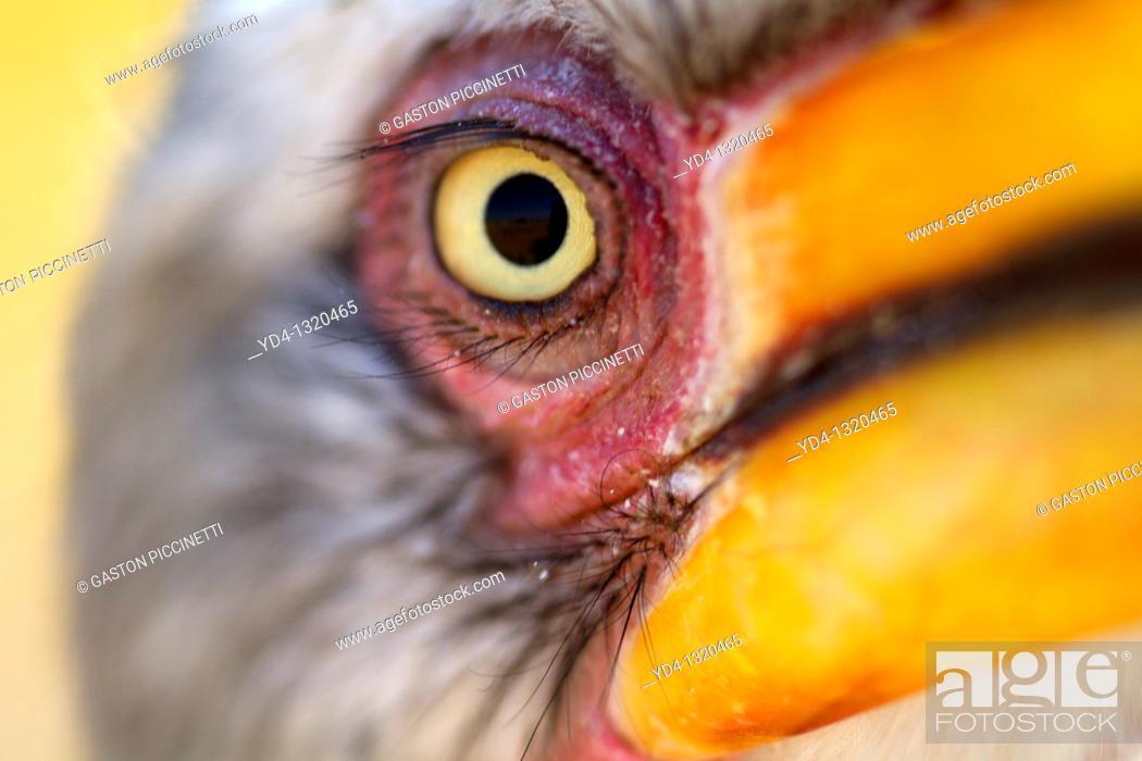 Stock Photo: Yellowbillled Hornbill Tockus flavirostris, Mabuasehube, Kalahari desert, Botswana.