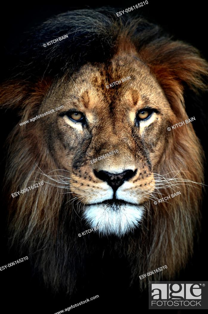 Stock Photo: A close up shot of an African Lion.
