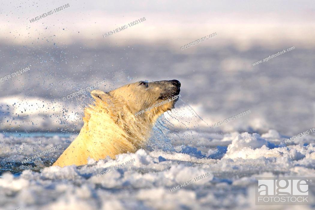 Stock Photo: United States, Alaska, Arctic National Wildlife Refuge, Kaktovik, One sub adult polar bear swim in slush ice along a barrier island outside Kaktovik, Alaska.