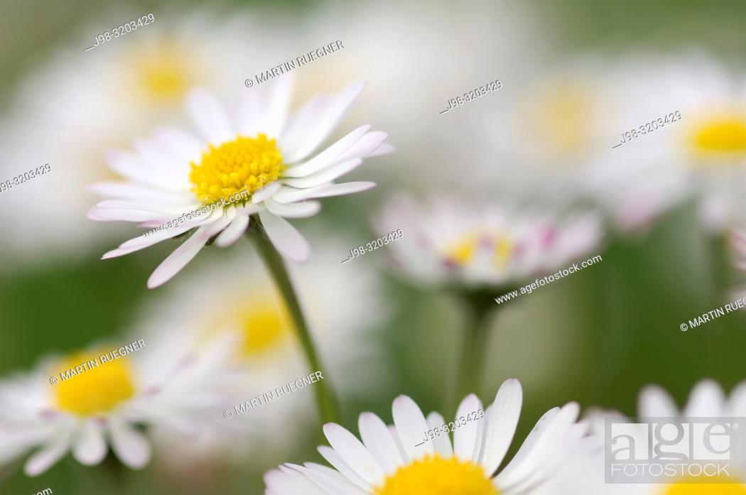 Stock Photo: Daisy (Bellis perennis. Bavaria, Germany.