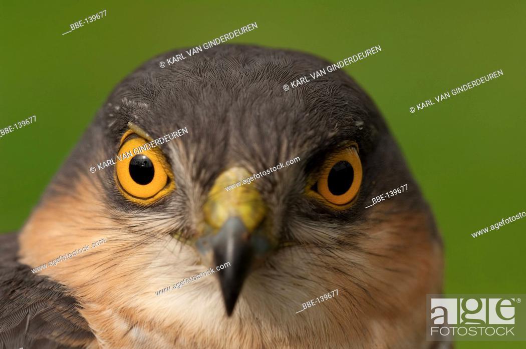 Stock Photo: Portrait of a sparrowhawk.