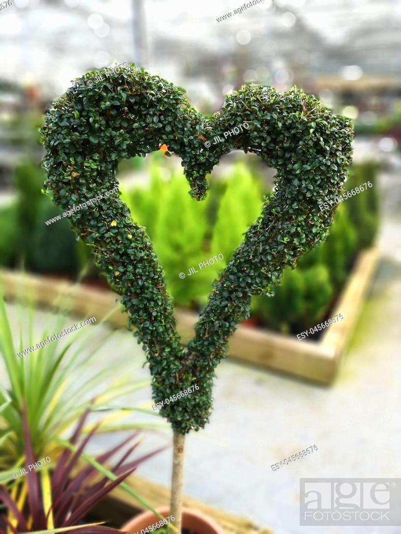 Stock Photo: Heart shaped boxwood shrub.