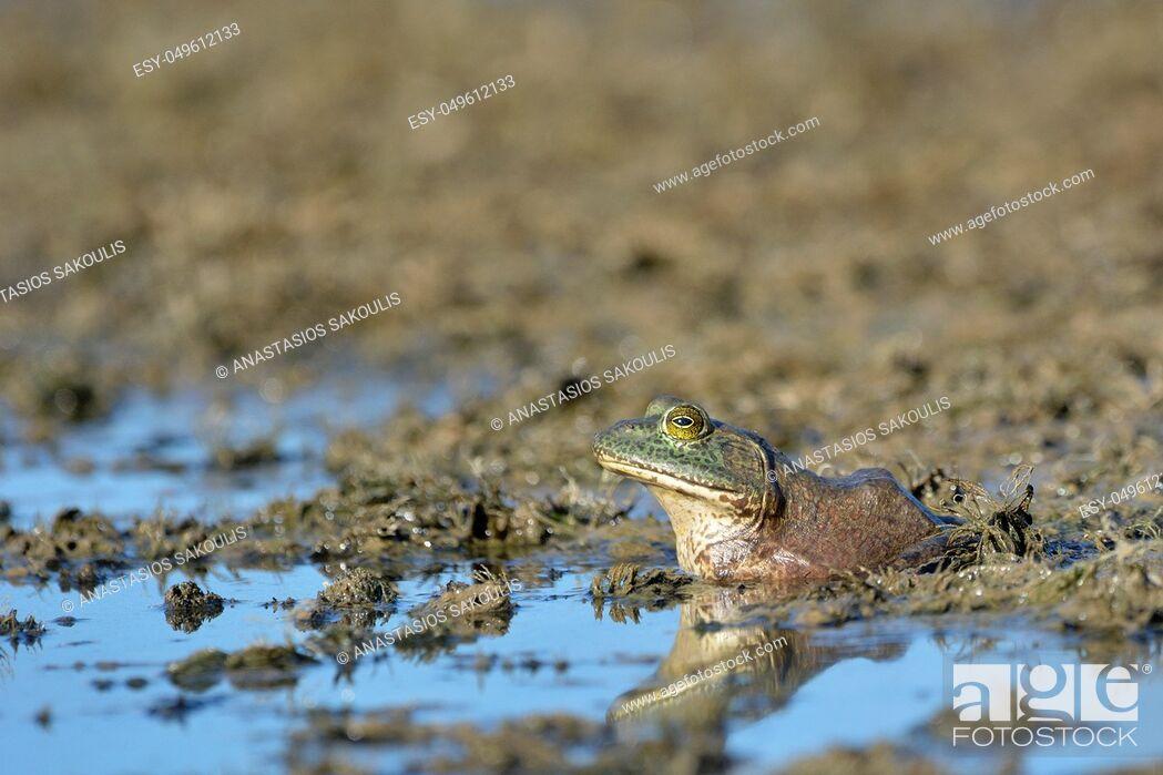 Stock Photo: An American Bullfrog (Rana catesbeiana), an invasive species on Crete.