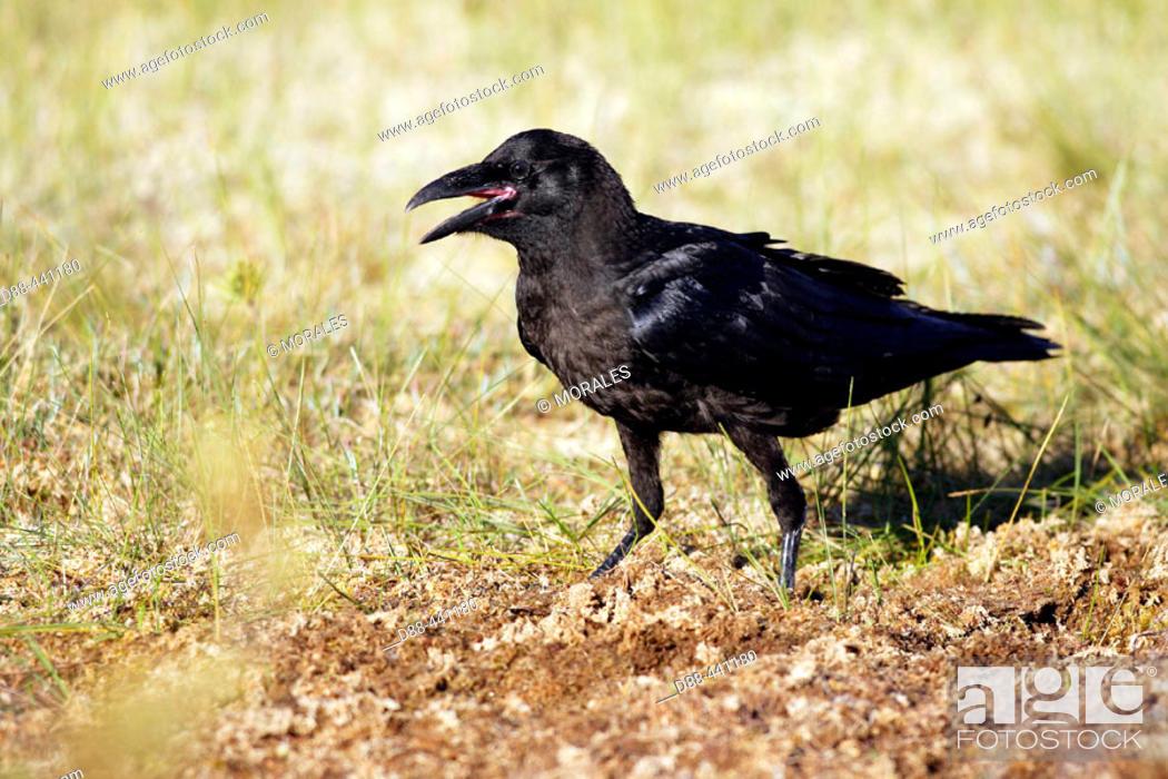 Stock Photo: Raven (Corvus corax).