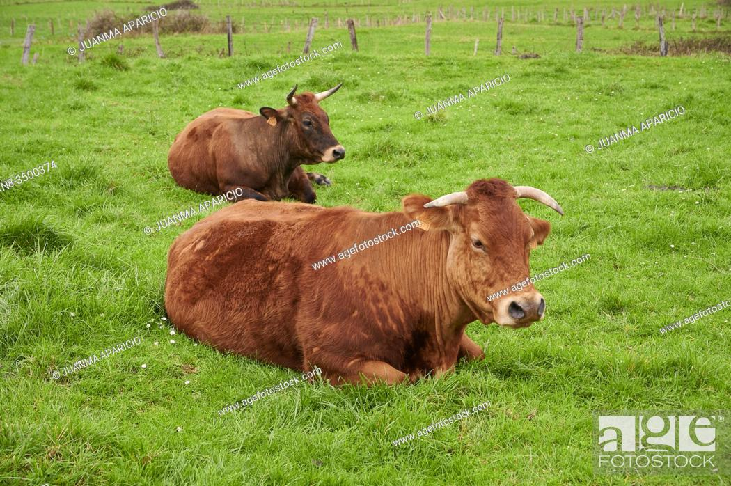 Stock Photo: Cows resting in a meadow, Castro Urdiales, cantabria, Spain, Europe.