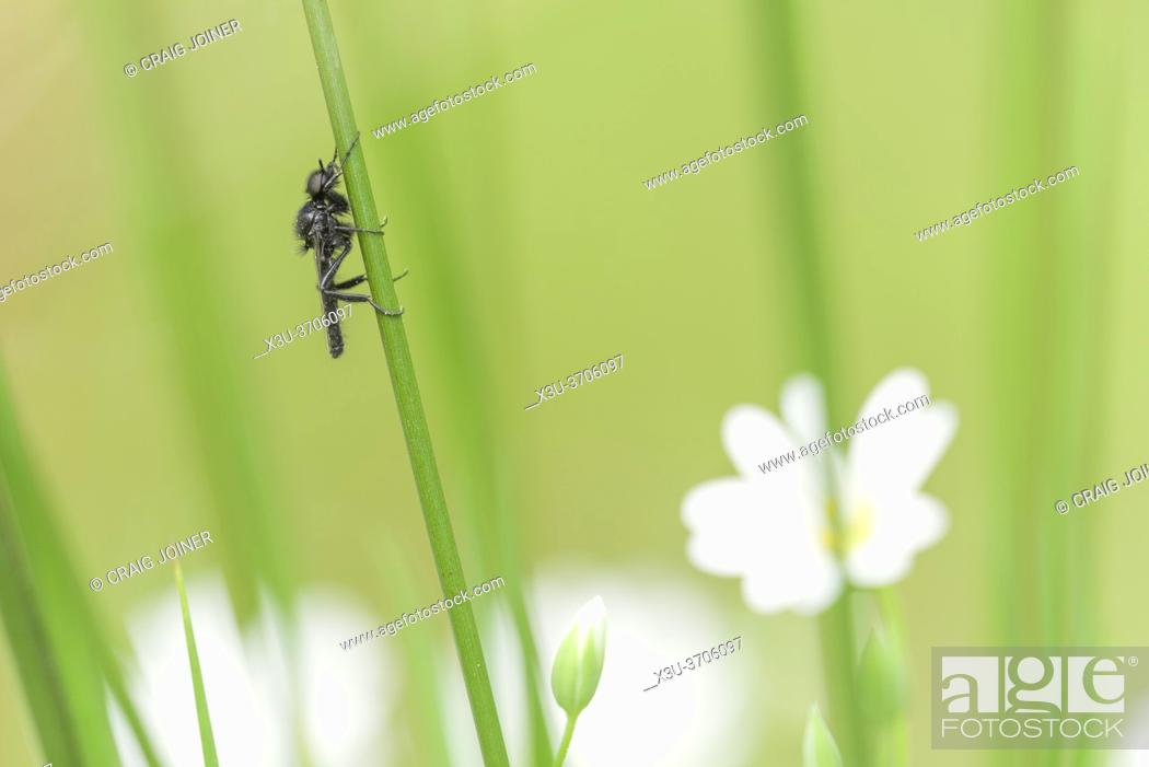 Stock Photo: A St. Mark's Fly (Bibio marci) or Hawthorn Fly, male, on grass above Greater Stitchwort flowers in a woodland in Somerset.