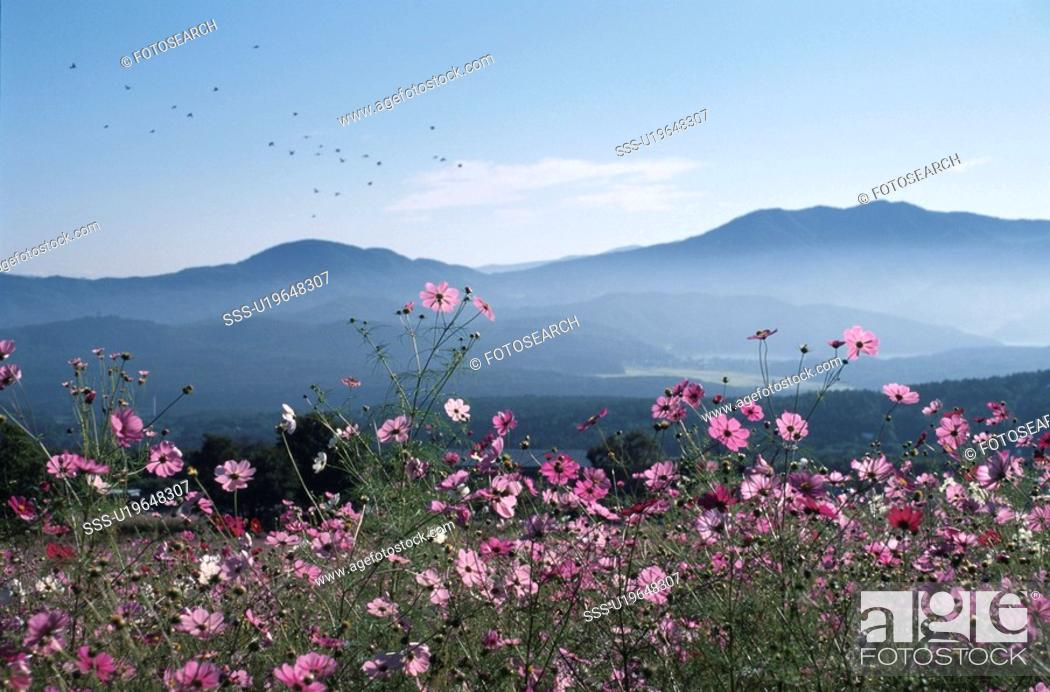 Stock Photo: A Cosmos Field And A Mountain Range.