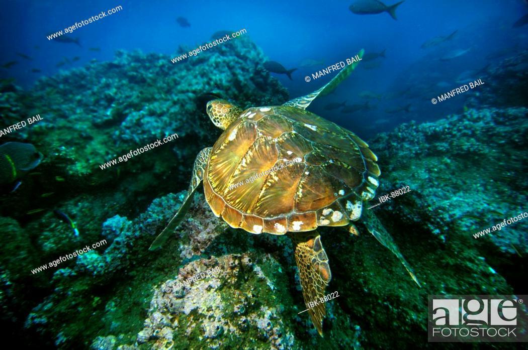 Stock Photo: Hawksbillturtle, Eretmochelys imbricata, Wolf Island, Galapagos, Ecuador, Pacific Ocean.